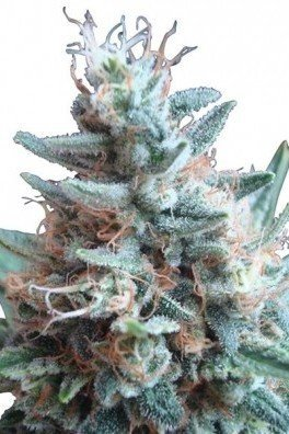 Sweet Candy (Zativo Seeds)