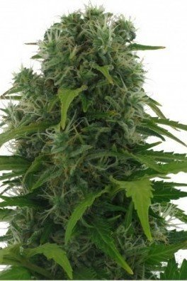 Northern Lights Autofiorente (Zativo Seeds)