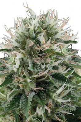 Diesel Kush (Zativo Seeds)