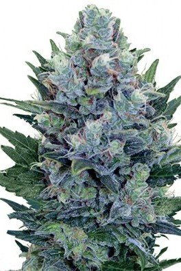 Blue Cheese Autofiorente (Zativo Seeds)