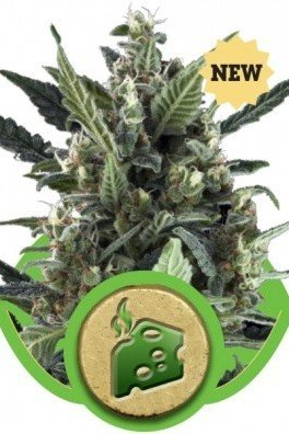 Blue Cheese Automatica (Royal Queen Seeds)