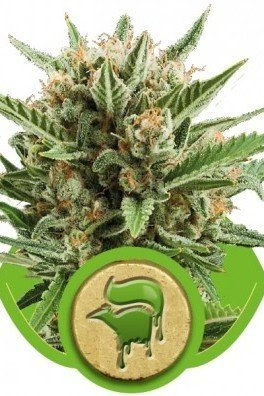 Sweet Skunk Automatica (Royal Queen Seeds)