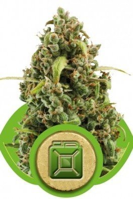 Diesel Automatica (Royal Queen Seeds)