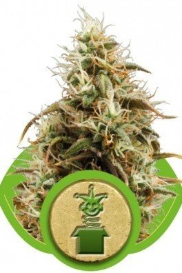 Royal Jack Automatica (Royal Queen Seeds)