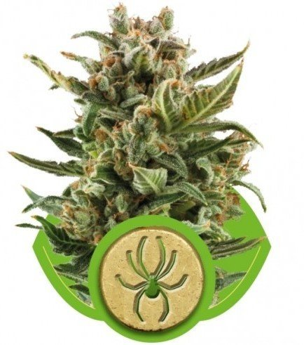 White Widow Automatica (Royal Queen Seeds)