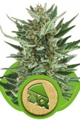 Royal Cheese Automatica (Royal Queen Seeds)