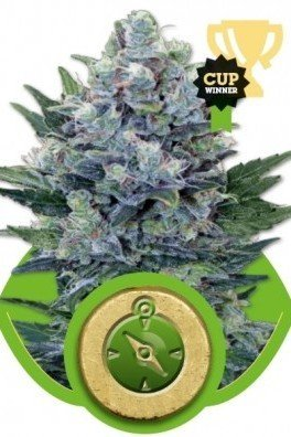 Northern Light Automatica (Royal Queen Seeds)