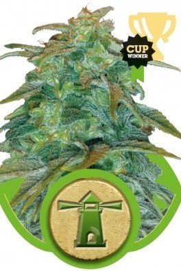 Royal Haze Automatica (Royal Queen Seeds)