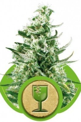 Royal Critical Automatica (Royal Queen Seeds)