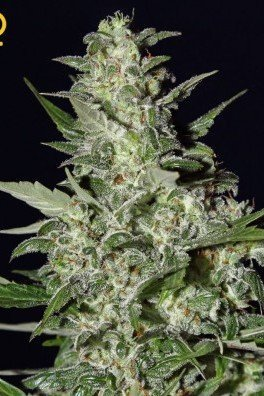 Super Critical Autofiorente (Greenhouse Seeds)