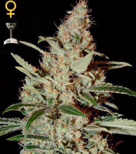 Big Bang Autoflowering (Greenhouse Seeds)