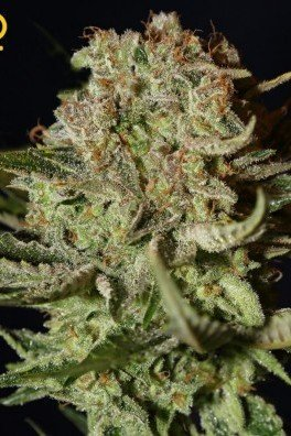Super Bud Autofiorente (Greenhouse Seeds)