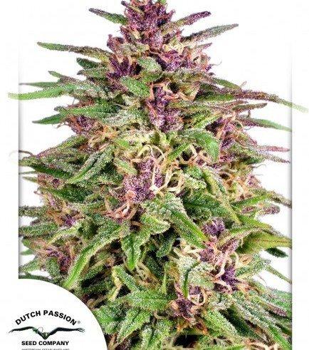 semi di cannabis banche di semi di cannabis dutch passion frisian dew