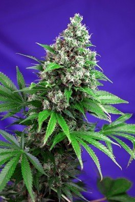 Killer Kush - F1 Fast Version (Sweet Seeds)
