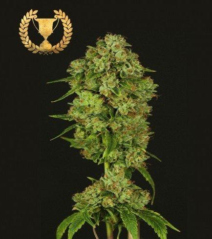 Casey Jones (Devil's Harvest Seeds)