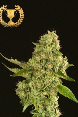 Kuchi (Devil's Harvest Seeds)