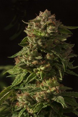 Fallen Angel (Devil's Harvest Seeds)