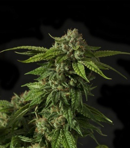 Khufu (Devil's Harvest Seeds)