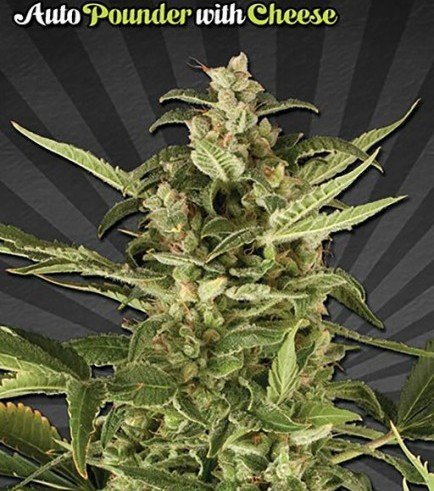 Auto Pounder con Cheese (Auto Seeds)