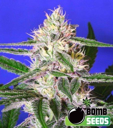 Cheese Bomb (Bomb Seeds)