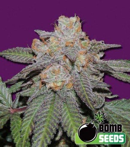 Cherry Bomb Auto (Bomb Seeds)
