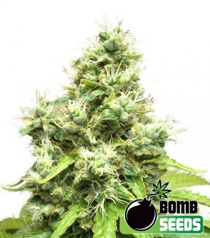 Medi Bomb 1 (Bomb Seeds)