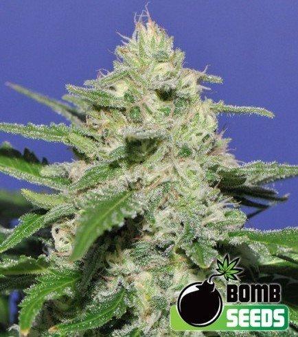 Widow Bomb (Bomb Seeds)
