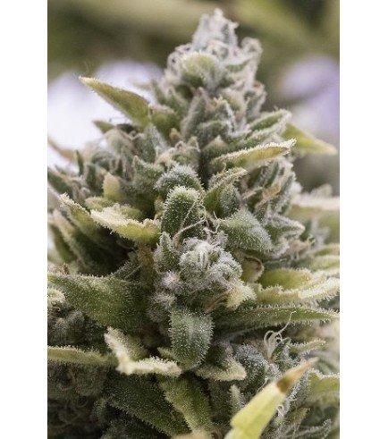 OG Kush Auto (Humboldt Seeds)