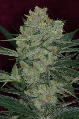 Cheese Quake (TGA Subcool Seeds)