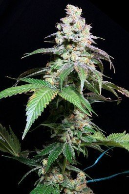 Grape Inferno (TGA Subcool Seeds)