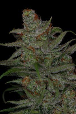 Jack Skellington (TGA Subcool Seeds)