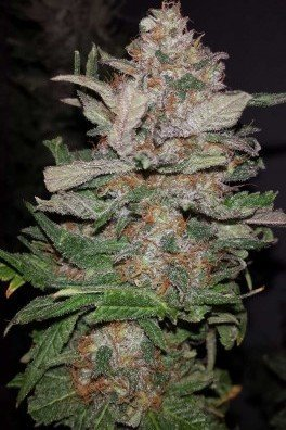 Hurkle (TGA Subcool Seeds)