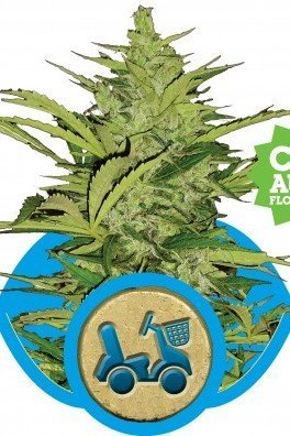 Fast Eddy Automatica (Royal Queen Seeds)