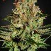 Super Bud (Greenhouse Seeds)