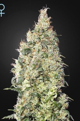 Great White Shark CBD (Greenhouse Seeds)