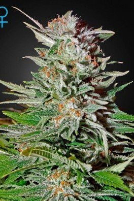 Super Lemon Haze Autofiorente (Greenhouse Seeds)