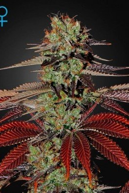 King's Kush Autofiorente (Greenhouse Seeds)