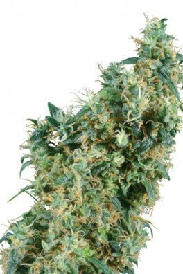 First Lady (Sensi Seeds)