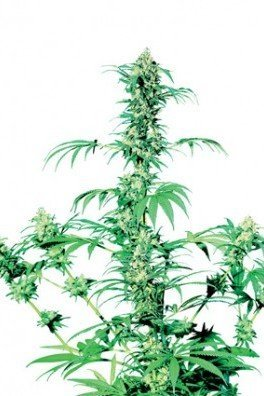 Early Girl (Sensi Seeds)