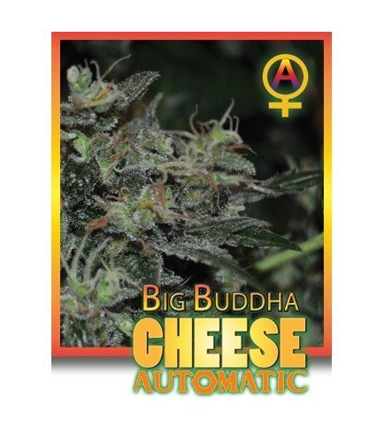 Big Buddha Cheese Automatica (Big Buddha Seeds)