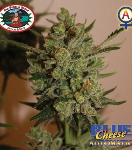 Blue Cheese Automatica (Big Buddha Seeds)