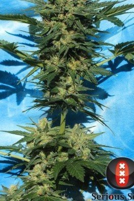 Autofiorente White Russian 1 (Serious Seeds)