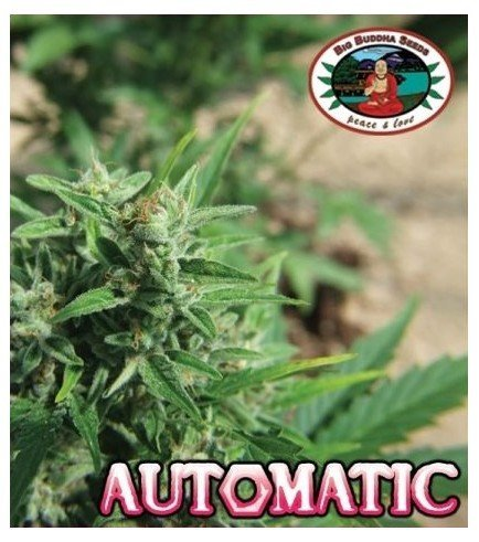 Automatic (Big Buddha Seeds)