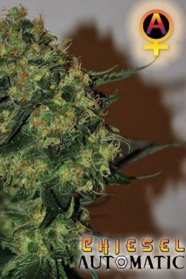Chiesel Automatica (Big Buddha Seeds)