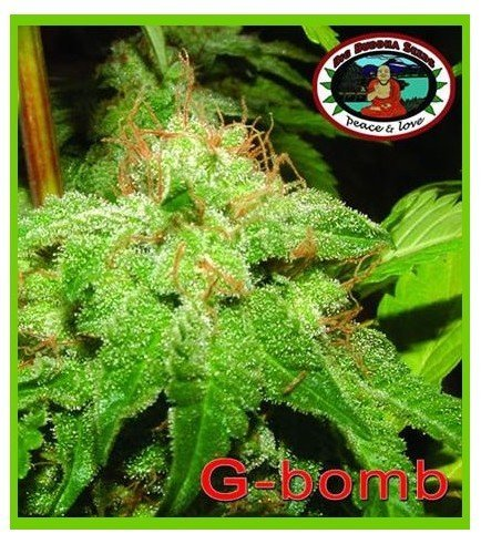 G-Bomb (Big Buddha Seeds)