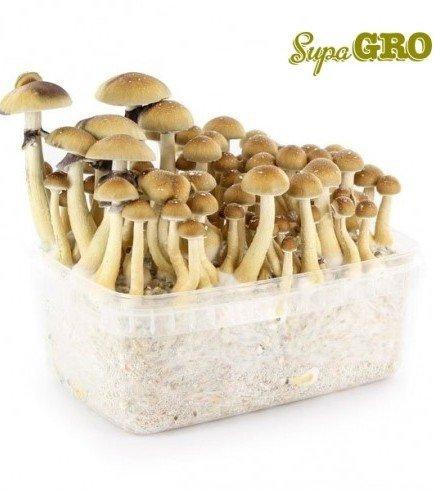Kit di Funghi Allucinogeni 'B+'
