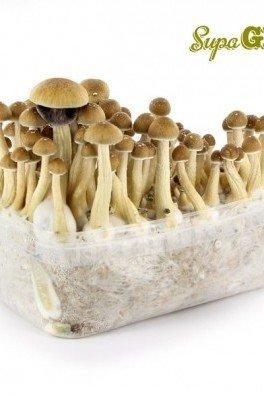 Kit di Funghi Allucinogeni 'McKennaii'