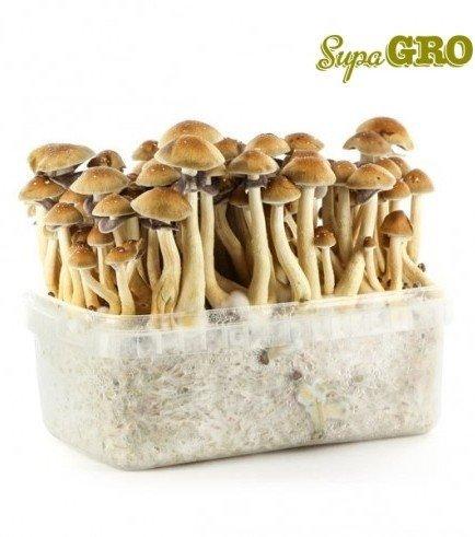 Kit di Funghi Allucinogeni 'Mexican'
