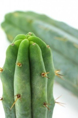 Cactus Torcia Boliviana