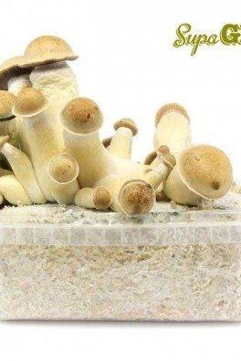 Kit di Funghi Allucinogeni Penis Envy